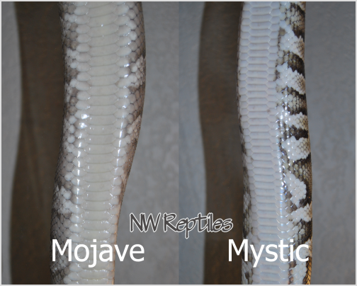 Compare Mojave and Mystic Ball Pythons