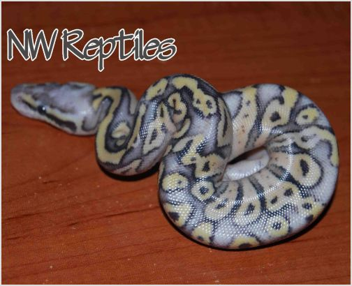 Image of superfly hatchling after first shed