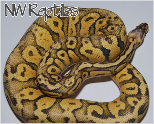 Superfly Ball Python 1 year old