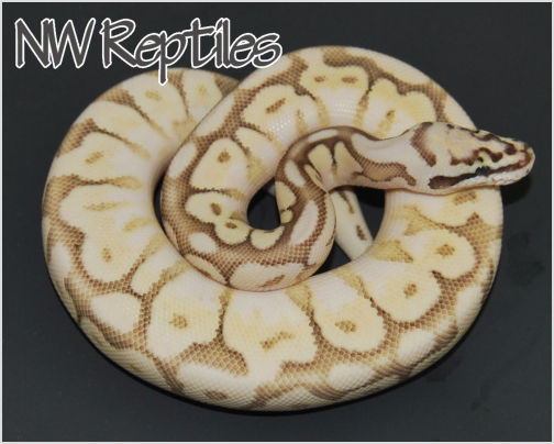 Image of Queen Bee Ball Python