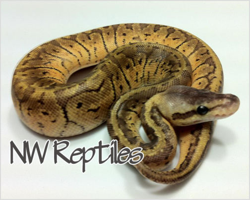 Image of Lemon Blast Ball Python