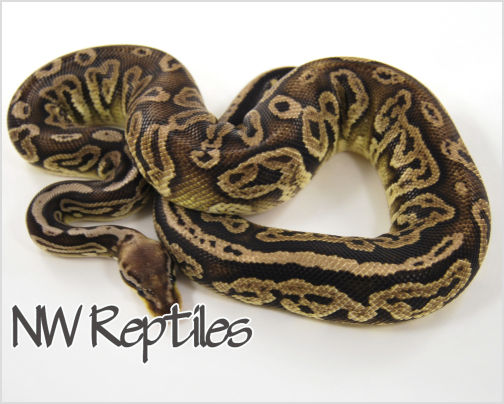 Image of Black Pewter Ball Python