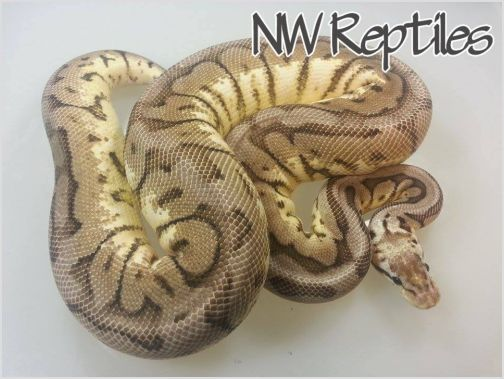 Image of Cinnamon Pewter Bee Ball Python