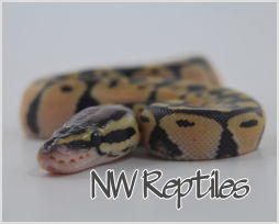 Hatchling pastel ball python