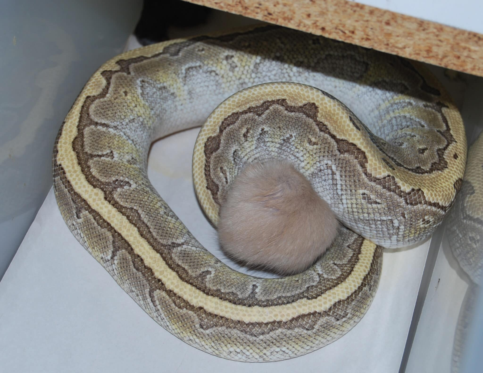 Lesser pinstripe Ball Python eating