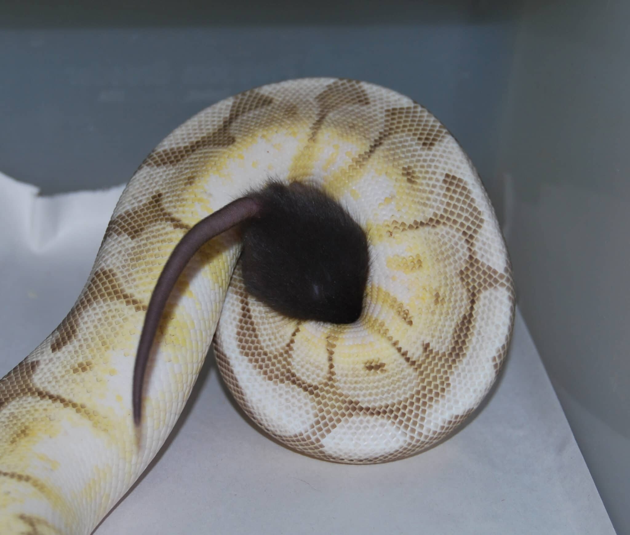 Solving ball python eating woes