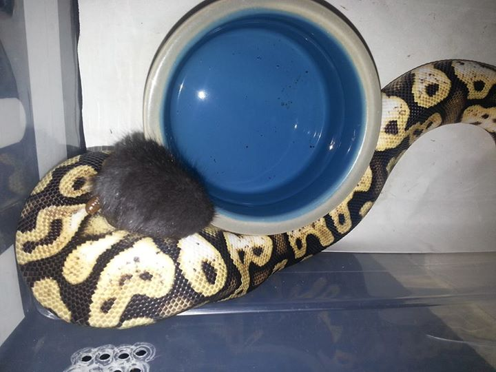 Ball python eating